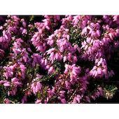 Марч Сидлинг C2 H15 7 ЦВЕТОВ, цвет розовый