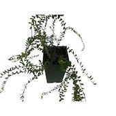 Растение Клюква С2 Н40 Без бренда, код 4601887223344