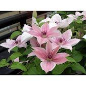 Растение Клематис розовый С2 Н60 Без бренда