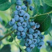 Ягодные - Голубика садовая Elisabeth