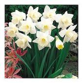 Цветы многолетние - Нарцисс Крупноцветковый