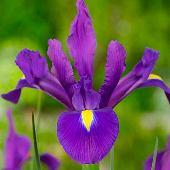 Цветы многолетние - Ирис  Purple Sensation