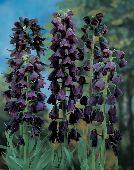 Цветы многолетние - Рябчик  Persica