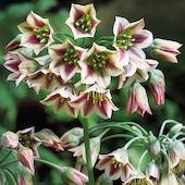 Цветы многолетние - Нектароскордум сицилийский